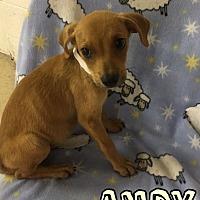 Adopt A Pet :: ANDY 10 WK TERRIER MALE - Mesa, AZ