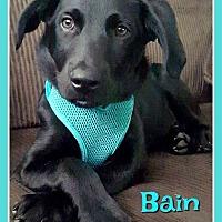 Adopt A Pet :: Bain - Elburn, IL