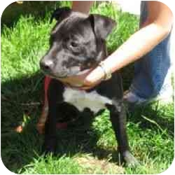American Pit Bull Terrier Mix Puppy for adoption in Berkeley, California - Gia