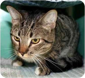 Domestic Shorthair Cat for adoption in Phoenix, Oregon - Jacko
