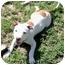 Photo 3 - American Bulldog/American Staffordshire Terrier Mix Puppy for adoption in Sacramento, California - Cameron