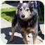 Photo 2 - Australian Cattle Dog Dog for adoption in Berkeley, California - Stanley