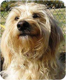 Maltese/Silky Terrier Mix Dog for adoption in Oswego, Illinois - Penny