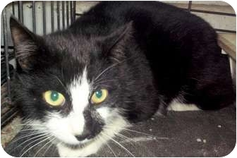 Turkish Angora Cat for adoption in Bandera, Texas - Button