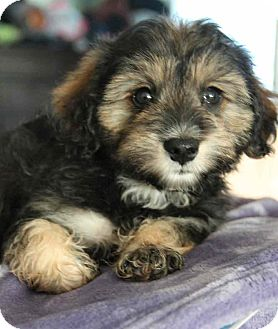 Poodle (Miniature)/Yorkie, Yorkshire Terrier Mix Puppy for adoption in Yuba City, California - Beaver