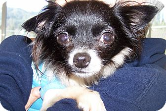 Pomeranian/Chihuahua Mix Dog for adoption in Grants Pass, Oregon - Otis