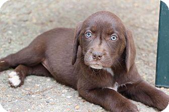 Labrador Retriever Mix Puppy for adoption in Cumming, Georgia - Quinn