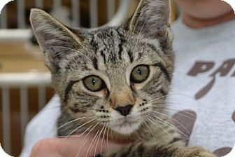Domestic Shorthair Kitten for adoption in Elyria, Ohio - Mindy