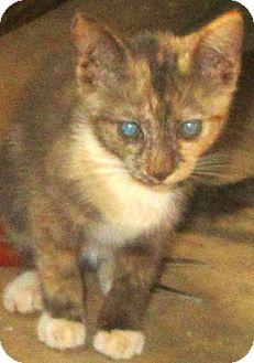 Domestic Shorthair Kitten for adoption in Lincolnton, North Carolina - Sunny