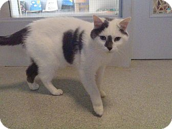 Domestic Shorthair Cat for adoption in New Milford, Connecticut - Meu