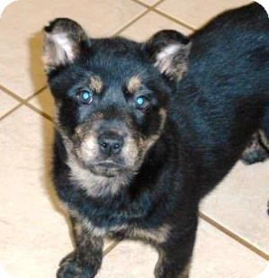 Boston Terrier Mix Puppy for adoption in Bartonsville, Pennsylvania - Corey