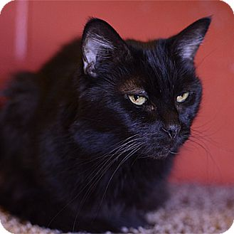 Domestic Shorthair Cat for adoption in Stillwater, Oklahoma - Shadow
