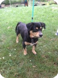 Beagle Mix Dog for adoption in Columbia, South Carolina - Dodge