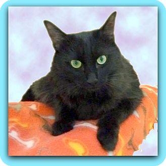 Domestic Shorthair Cat for adoption in Glendale, Arizona - Loki