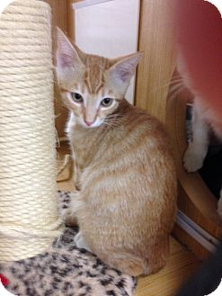 Domestic Shorthair Kitten for adoption in El Dorado Hills, California - KITTEN - KAPUNA
