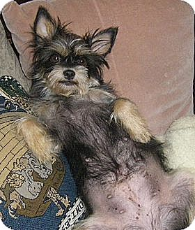 "Yorkie, Yorkshire Terrier/Terrier (Unknown Type, Small) Mix Dog for adoption in Seattle, Washington - ""Daphne"""