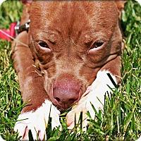 Adopt A Pet :: Sansa - Mount Juliet, TN