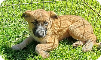 Border Collie/Australian Cattle Dog Mix Puppy for adoption in Liberty Center, Ohio - Hutch