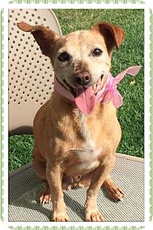 Chihuahua/Terrier (Unknown Type, Small) Mix Dog for adoption in Arcadia, California - Duchess