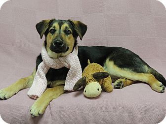 German Shepherd Dog Mix Dog for adoption in Quincy, Illinois - Angel