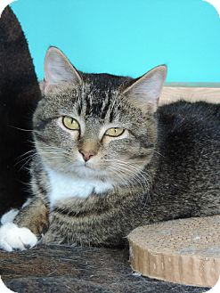 Domestic Shorthair Cat for adoption in Brookings, South Dakota - Samsung