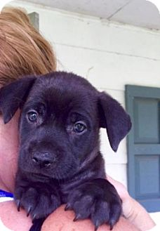 Labrador Retriever/Terrier (Unknown Type, Medium) Mix Puppy for adoption in Barnegat, New Jersey - Pinot