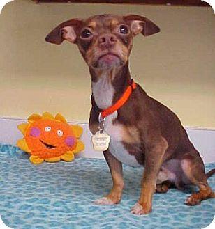 Chihuahua/Miniature Pinscher Mix Dog for adoption in Dahlgren, Virginia - Zeke - 8 lbs
