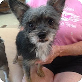 Yorkie, Yorkshire Terrier/Chinese Crested Mix Dog for adoption in Yreka, California - Mr. Peabody