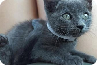 Russian Blue Kitten for adoption in Corona, California - ASHLEY - UPLAND