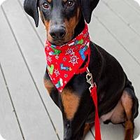 Doberman Pinscher Puppy for adoption in Bath, Pennsylvania - Arrow