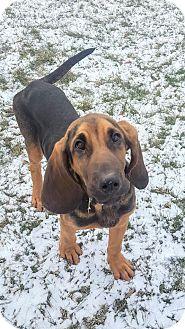 Bloodhound Mix Puppy for adoption in Lafayette, New Jersey - Elvis