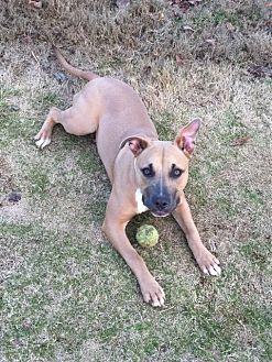Pit Bull Terrier/Shepherd (Unknown Type) Mix Dog for adoption in Fulton, Missouri - Diamond-Georgia