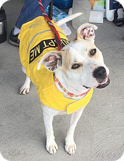 Shepherd (Unknown Type)/Pit Bull Terrier Mix Dog for adoption in Scottsdale, Arizona - Kiki