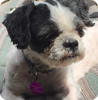 Shih Tzu Dog for adoption in Rockville, Maryland - Kevin aka 'Kev'