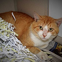 Adopt A Pet :: William - Pottsville, PA