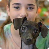 Adopt A Pet :: Shy - Ogden, UT