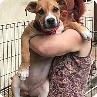 Adopt A Pet :: Bonnie - Toms River, NJ