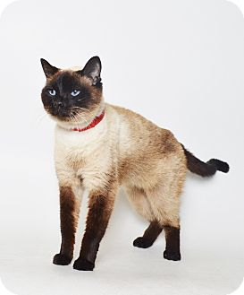 Siamese Cat for adoption in Fruit Heights, Utah - Precious
