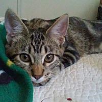 Domestic Shorthair Cat for adoption in La puente, California - Spaghetti