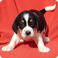 Adopt A Pet :: Axle (5 lb) Video - Williamsport, MD