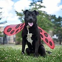 Adopt A Pet :: Blackberry - St. Louis, MO