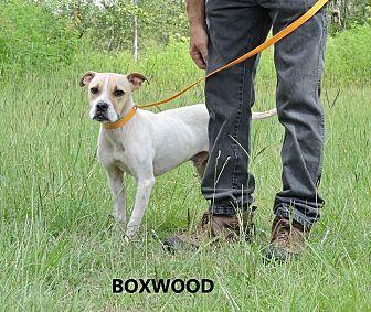 Boxer/Terrier (Unknown Type, Medium) Mix Dog for adoption in Washington, Georgia - Boxwood