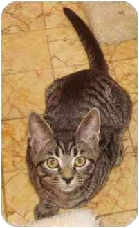Domestic Shorthair Kitten for adoption in Laurel, Maryland - Scooter