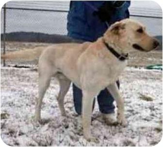 Labrador Retriever Mix Dog for adoption in Osseo, Minnesota - Yogi