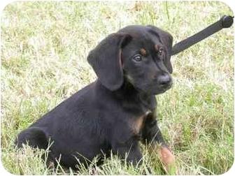 Coonhound Mix Puppy for adoption in Brenham, Texas - Ralph
