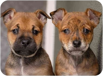 Welsh Corgi/Pug Mix Puppy for adoption in Los Angeles, California - Fred