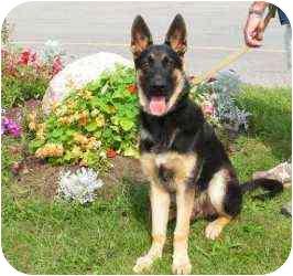 German Shepherd Dog Puppy for adoption in Rigaud, Quebec - Zack
