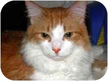 Maine Coon Cat for adoption in Arlington, Virginia - Marco