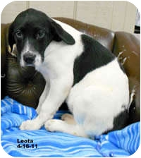 Labrador Retriever/Shepherd (Unknown Type) Mix Puppy for adoption in Avon, New York - Leota