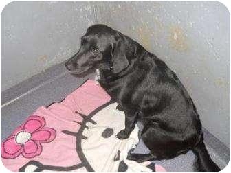 Labrador Retriever Mix Dog for adoption in Edwardsville, Illinois - Ebony